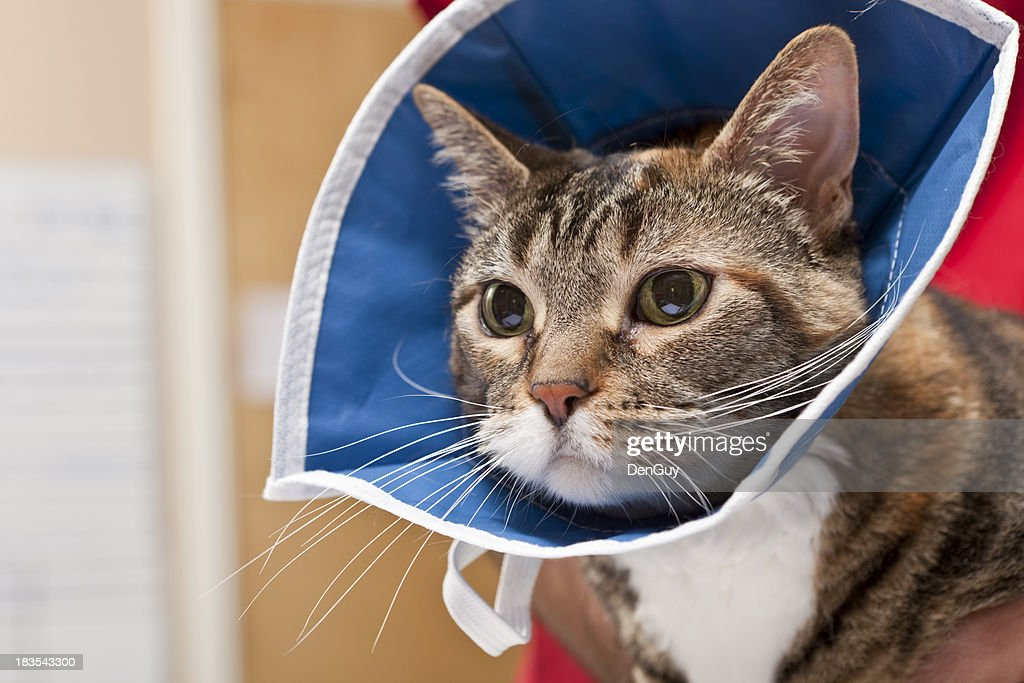 Cat Waits With Collar on After Procedure in Animal Hospital : Stock Photo