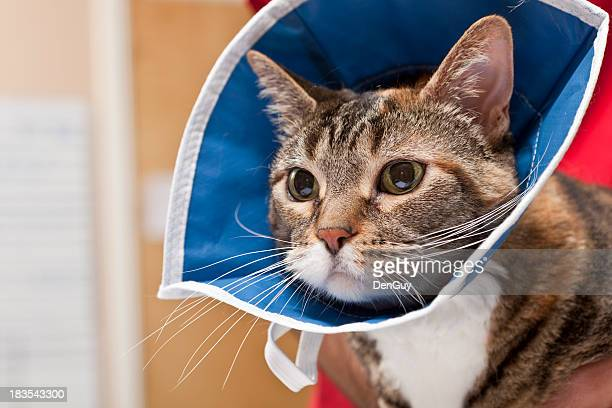 cat waits with collar on after procedure in animal hospital - cone shape stock photos and pictures
