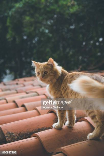 Cat walking on ancient shingles roof