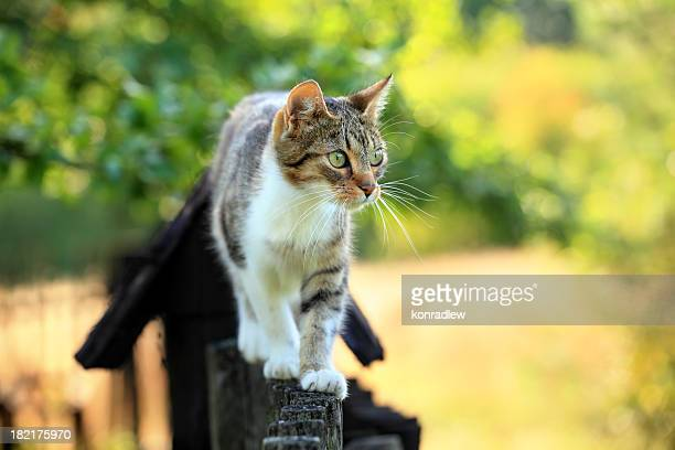 cat walking on fence - feline stock pictures, royalty-free photos & images