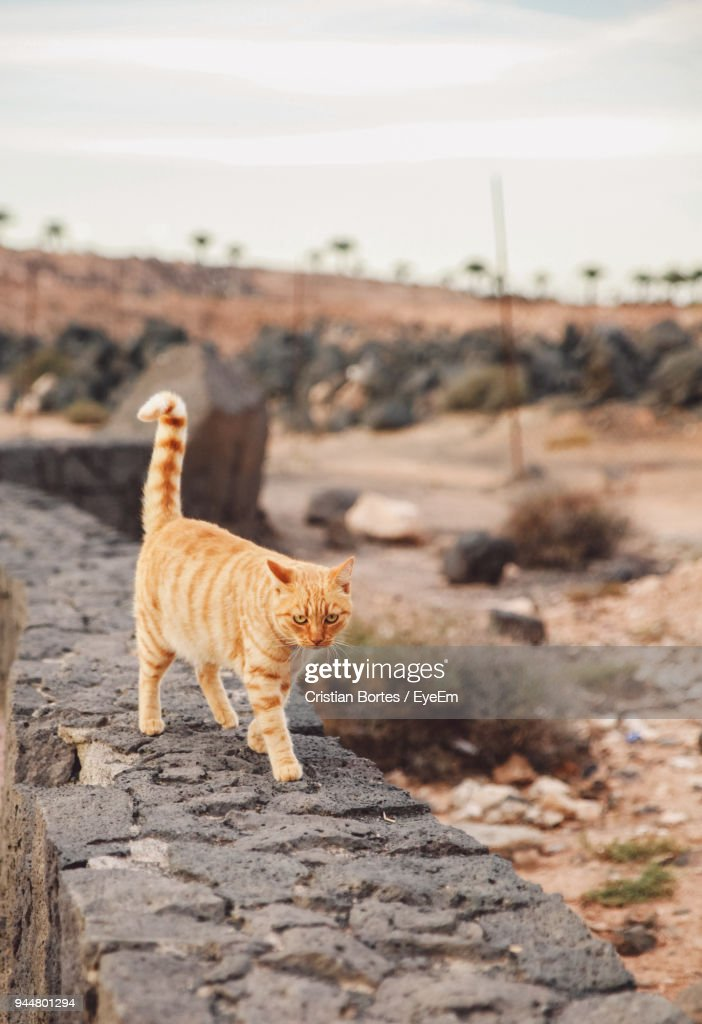 Cat Walking On Retaining Wall During Sunset : Stock Photo