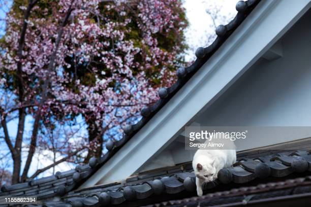 cat walking on the roof of japanese traditional architecture - 兵庫県 ストックフォトと画像