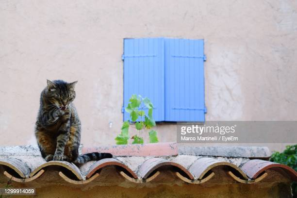 cat washes on a canopy in front of a window - martinelli stock pictures, royalty-free photos & images