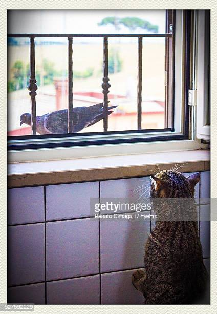 Cat Watching At Pigeon Through Window