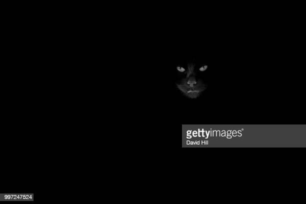 cat watching - black panther face stock photos and pictures