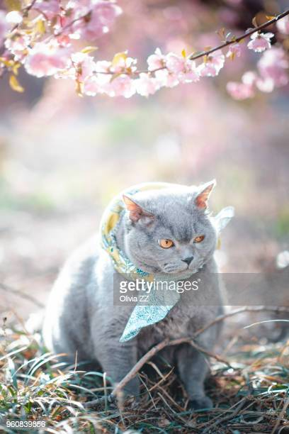 a cat wear a scarf stand under the tree - peach blossom stock pictures, royalty-free photos & images