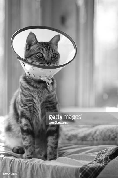 cat wearing elizabethan collar - elizabethan collar fotografías e imágenes de stock