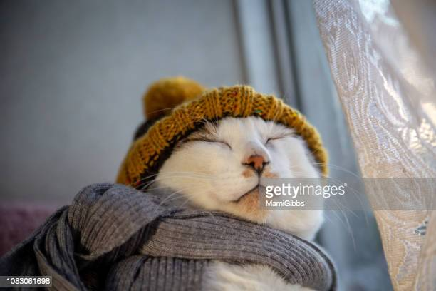 cat wearing hat and scarf - funny cats photos et images de collection