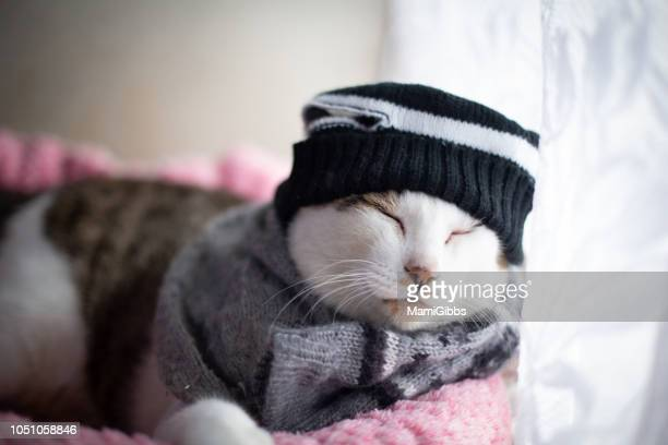 cat wearing knit hat and scarf - pawed mammal stock pictures, royalty-free photos & images