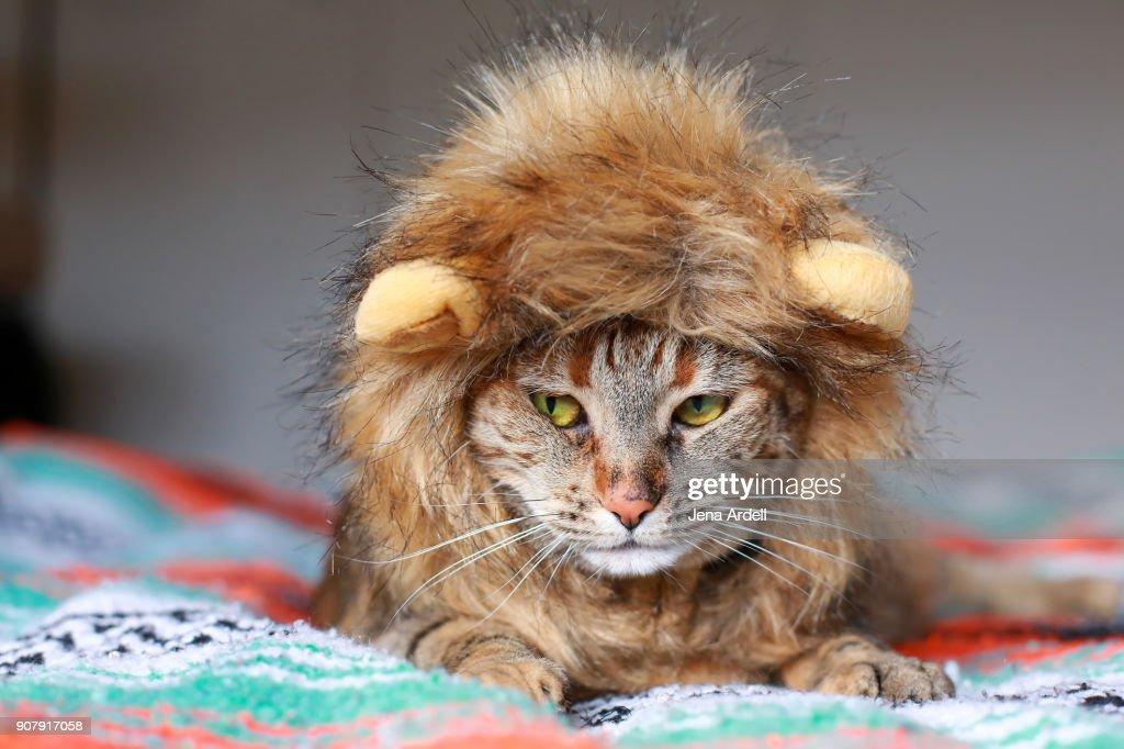Cat Wearing Lion Mane Cat Wearing Costume : Stock Photo