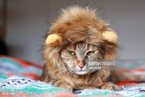 cat wearing lion mane cat wearing costume - lion feline stock pictures, royalty-free photos & images