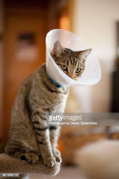 cat wearing medical cone looking sad - kegel stockfoto's en -beelden