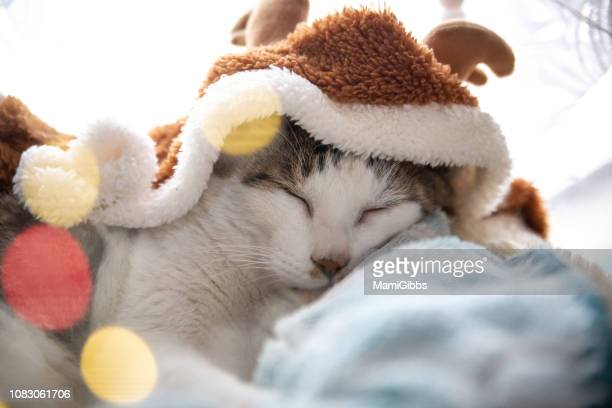 cat wearing - christmas kittens stock pictures, royalty-free photos & images