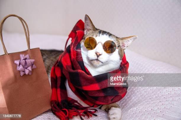 cat wearing scarf and sunglasses - ネコ科 ストックフォトと画像