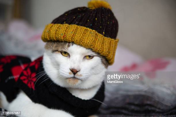 cat wearing winter clothing and look happy - pet clothing stock pictures, royalty-free photos & images