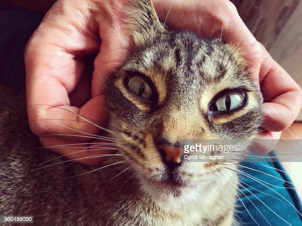 cat with a funny stretched and squished face - massage funny stock pictures, royalty-free photos & images