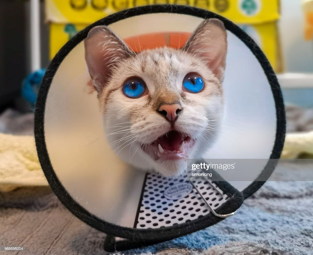 Cat with a protective neck cone : Stock Photo