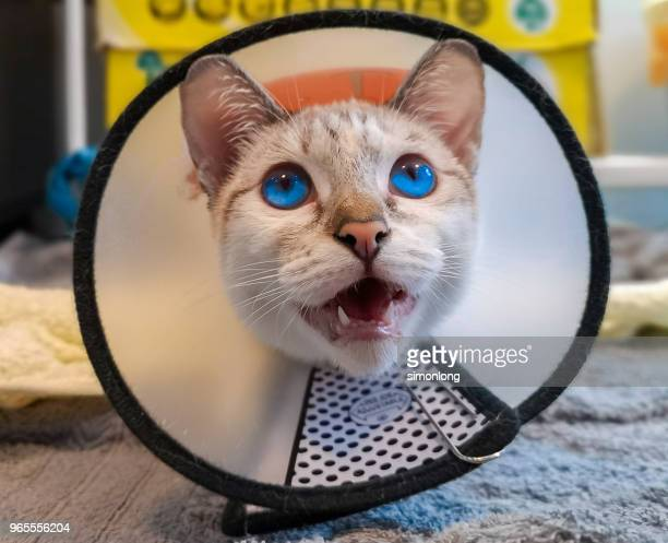 cat with a protective neck cone - elizabethan collar stock photos and pictures