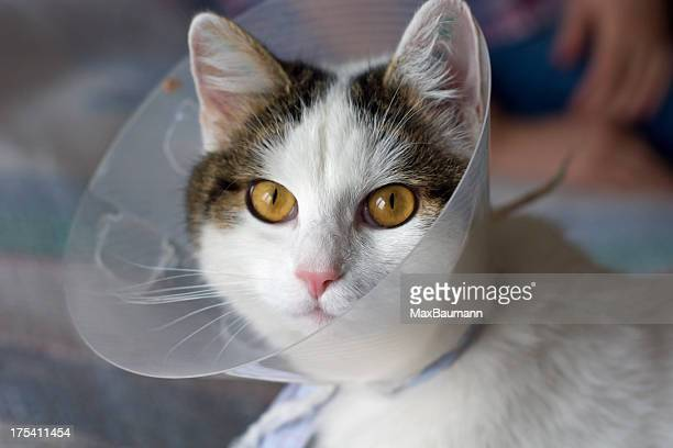 cat with anti- scratch protective collar - elizabethan collar stock photos and pictures