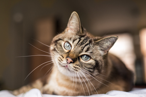 Cat with blue eyes looks at camera 1067347086