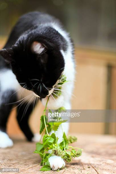 cat with catnip - catmint stock pictures, royalty-free photos & images