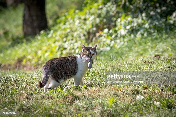 Cat With Dead Mouse In Mouth