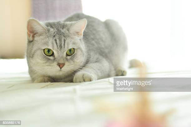 cat with gray-white hair looking at Feather Toy