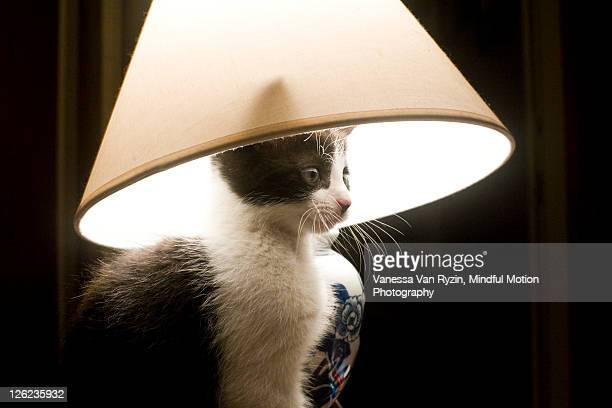 cat with lampshade - vanessa van ryzin stockfoto's en -beelden