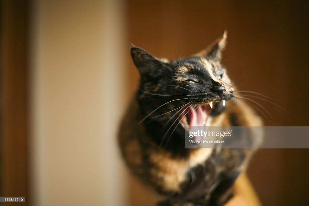 Cat with mouth open : Stock Photo