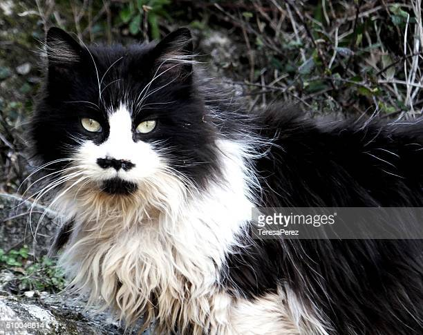 A cat with mustache Hitler