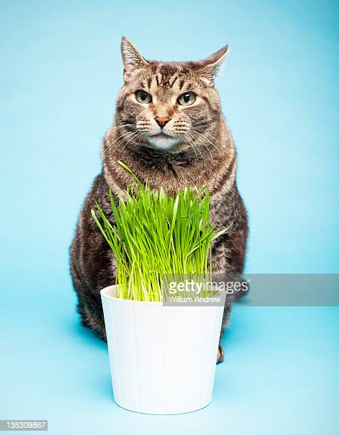 Cat with tasty wheat grass