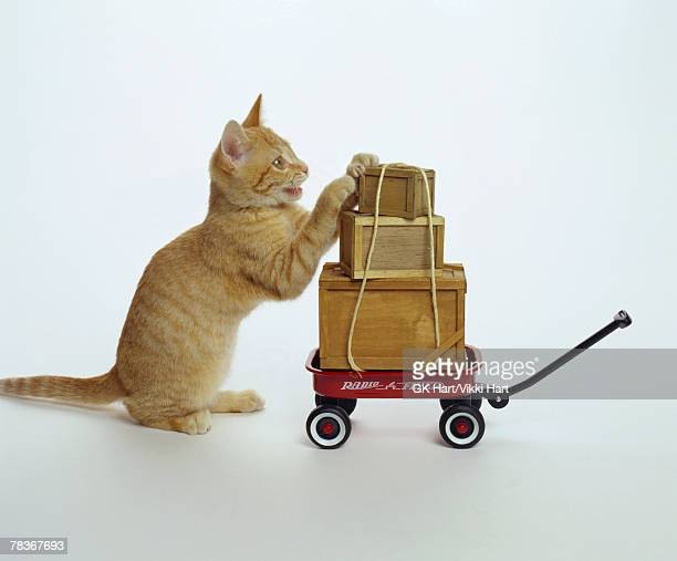 Cat with wagon and boxes