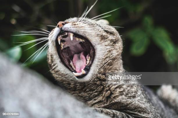 cat yawning in ericeira 2 - young hairy pics stock photos and pictures