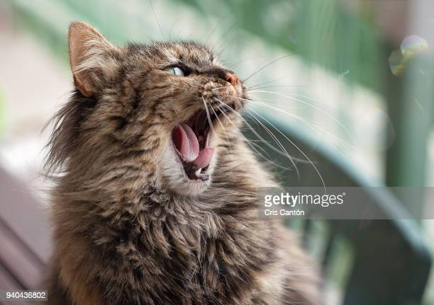 cat yawning - cris cantón photography stock pictures, royalty-free photos & images