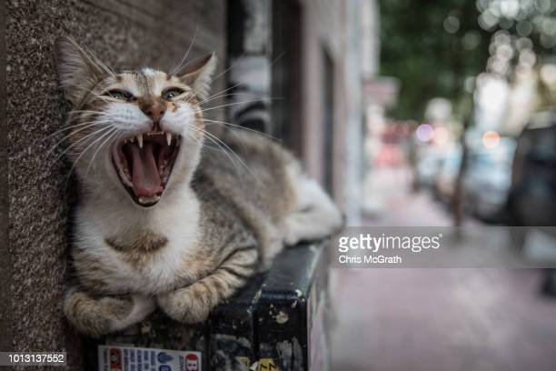 A cat yawns on August 7 2018 in Istanbul Turkey Istanbul is known as the City of Cats and sometimes referred to as 'Catstanbul' Hundreds of thousands...