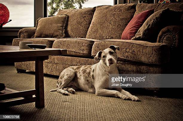 catahoula leopard dog - catahoula leopard dog stock photos and pictures
