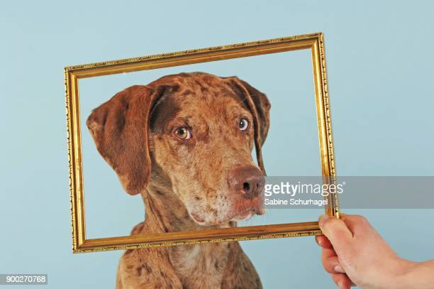 catahoula leopard dog, red merle, looking through picture frame - catahoula leopard dog stock photos and pictures