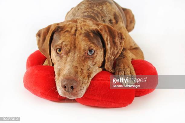 catahoula leopard dog, red merle, lying on cushions - catahoula leopard dog stock photos and pictures