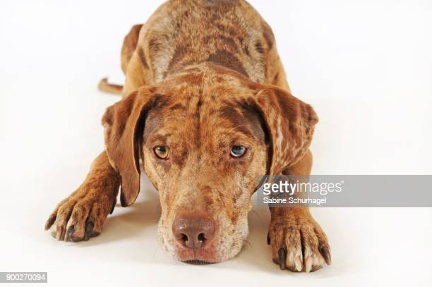 catahoula leopard dog, red merle, lying - catahoula leopard dog stock photos and pictures