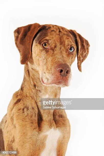 catahoula leopard dog, red merle, portrait - catahoula leopard dog stock photos and pictures