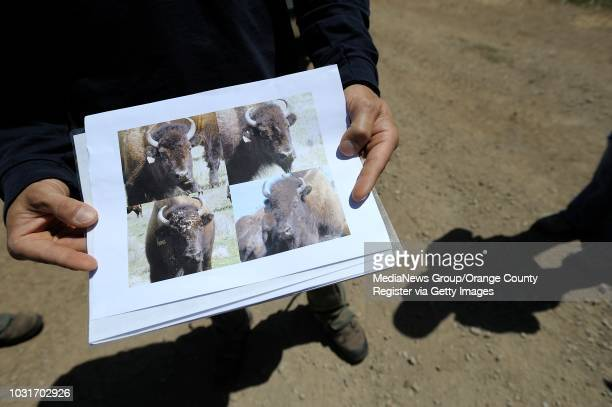 Catalina Conservancy marine biologist Calvin Duncan shows off mug shots of four female bison that he and fellow marine biologist Julie King are...