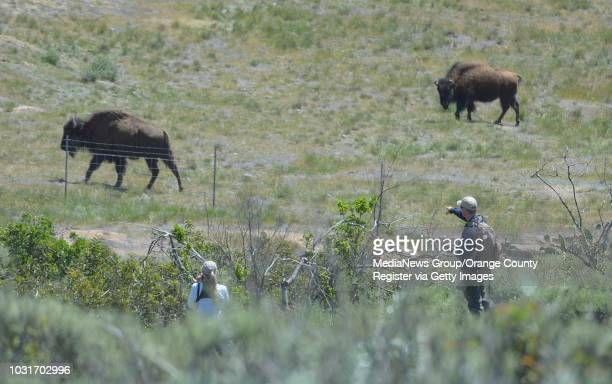 Catalina Conservancy marine biologist Julie King left and Calvin Duncan look for a specific female bison to shoot with a dart that will deliver...