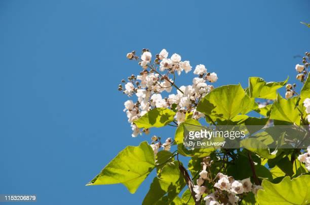 catalpa tree flowers - florescencia fotografías e imágenes de stock