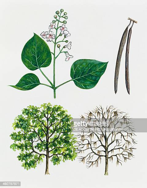 Catawba Common catalpa or Indian bean tree Bignoniaceae tree with and without foliage leaves flowers and fruits illustration