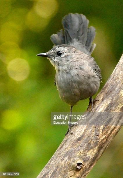 Catbird on a Tree Limb Animal Portrait