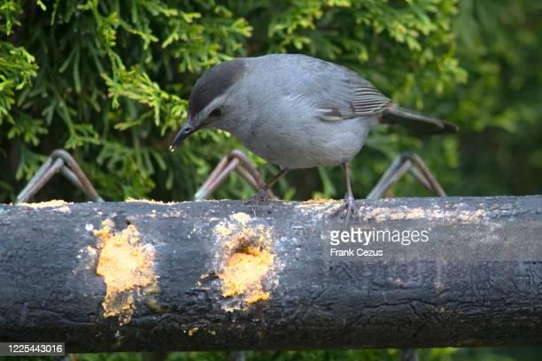 catbird on suet feeder - gray catbird stock pictures, royalty-free photos & images
