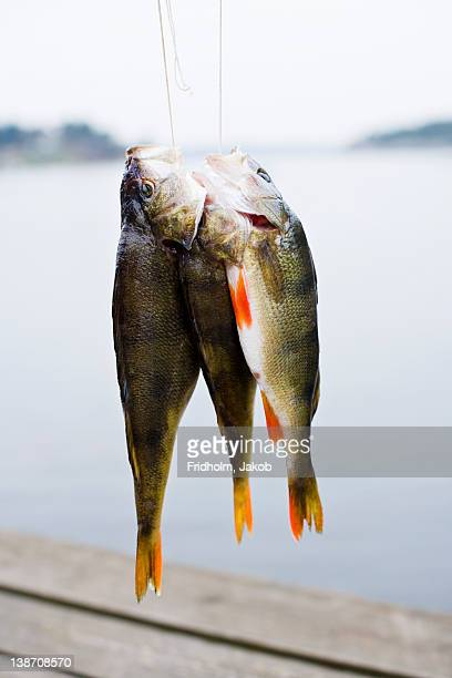 catch of fish hanging on string, close-up - perch fish stock pictures, royalty-free photos & images
