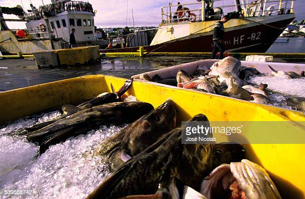 A catch of fish in the harbor of Husavik Husavík is a small town in the north of Iceland on the shores of Skjalfandi bay Inhabitants derive their...