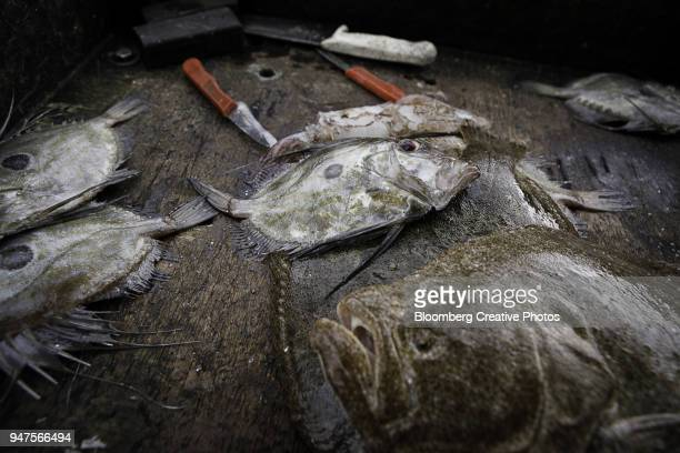 A catch of John Dory fish