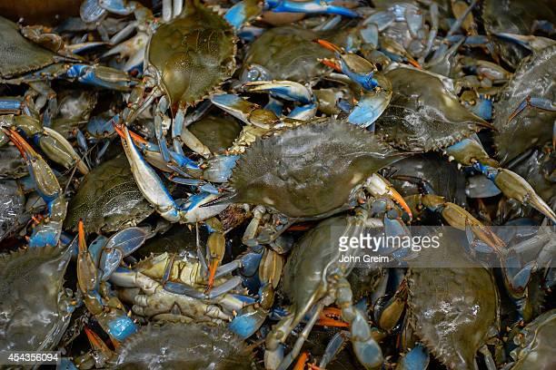 Catch of live Atlantic blue crab